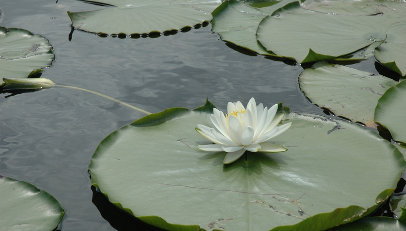 Purchased_dreamstime_130443_Lotus on Lily Pad.jpg